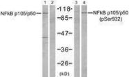 GTX50279 - NF-kB p105 / p50