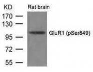 GTX50287 - Glutamate receptor 1 / GLUR1