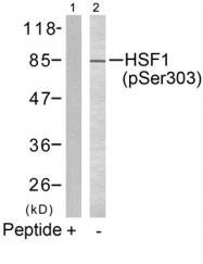 GTX50288 - Heat shock factor 1 / HSF1