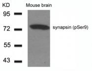 GTX50292 - Synapsin-1