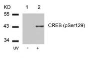 GTX50296 - CREB1