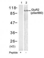 GTX50311 - Glutamate receptor 2 / GLUR2