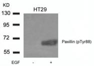 GTX50350 - Paxillin /  PXN