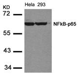 GTX50374 - RELA / NF-kB p65
