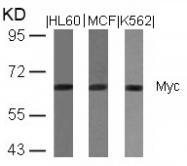 GTX50395 - c-Myc