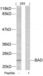 GTX50417 - Bcl-2-like 8