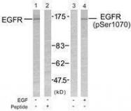 GTX50426 - EGFR / ERBB1