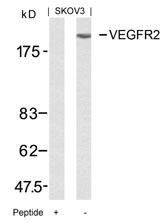 GTX50432 - CD309 / VEGFR-2 / Flk-1