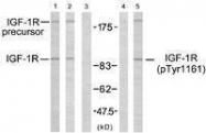 GTX50433 - CD221 / IGF1R