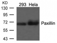 GTX50457 - Paxillin /  PXN