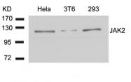 GTX50467 - Tyrosine-protein kinase JAK2