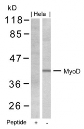 GTX50470 - MYOD1