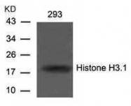 GTX50481 - Histone H3.1