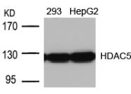 GTX50485 - HDAC5