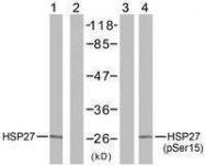 GTX50486 - HSPB1 / HSP27