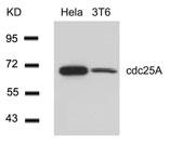 GTX50501 - CDC25A