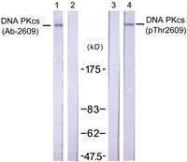 GTX50513 - DNA-PKcs / PRKDC / XRCC7