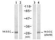 GTX50519 - 14-3-3 protein zeta/delta
