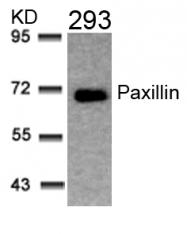 GTX50528 - Paxillin /  PXN