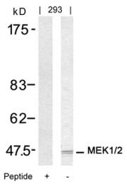 GTX50532 - MAPKK 2