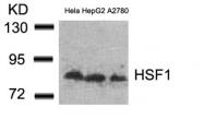 GTX50535 - Heat shock factor 1 / HSF1