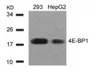 GTX50543 - EIF4EBP1 / 4E-BP1