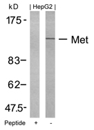 GTX50547 - HGF receptor