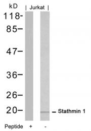 GTX50554 - Stathmin / STMN1