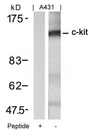 GTX50556 - CD117 / c-kit