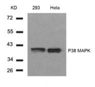 GTX50566 - MAP kinase p38 alpha / MAPK14