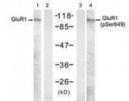 GTX50574 - Glutamate receptor 1 / GLUR1