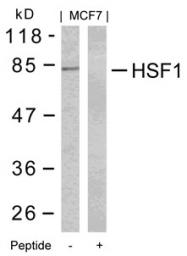 GTX50576 - Heat shock factor 1 / HSF1