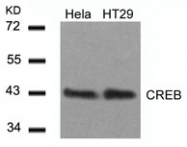 GTX50586 - CREB1