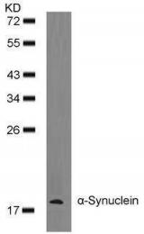 GTX50595 - Alpha-Synuclein / SNCA