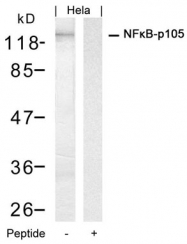 GTX50618 - NF-kB p105 / p50