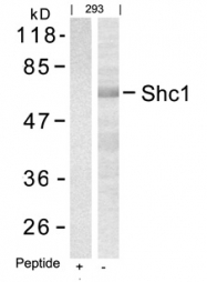 GTX50621 - SHC1 / SHC