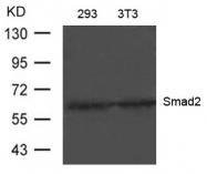 GTX50627 - SMAD2