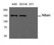 GTX50634 - Niban