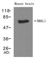 GTX50643 - ARNTL / BMAL1