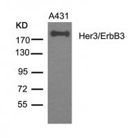 GTX50651 - ERBB3 / HER3