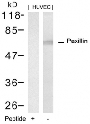 GTX50662 - Paxillin /  PXN
