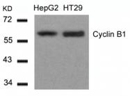 GTX50663 - Cyclin B1