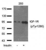 GTX50683 - CD221 / IGF1R