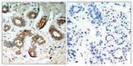 GTX50712 - 14-3-3 protein zeta/delta