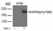GTX50720 - CD309 / VEGFR-2 / Flk-1