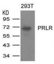GTX50723 - Prolactin receptor