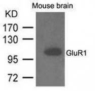 GTX50728 - Glutamate receptor 1 / GLUR1