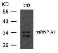 GTX50746 - hnRNP core protein A1 / HNRNPA1