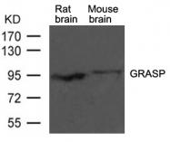 GTX50748 - GRIP1-associated protein 1