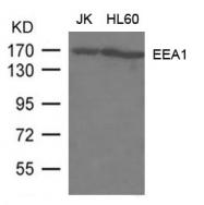 GTX50769 - Early endosome antigen 1